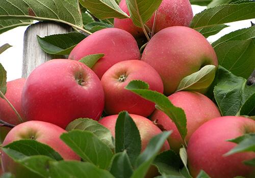 appels_teelt